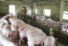 Xử lý nước thải giết mổ gia súc chi phí thấp